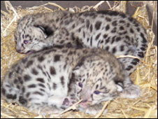 There are only about 4,000 snow leopards left in the wild